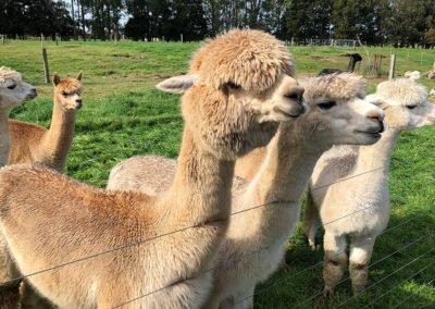 Alpacas-Waikato