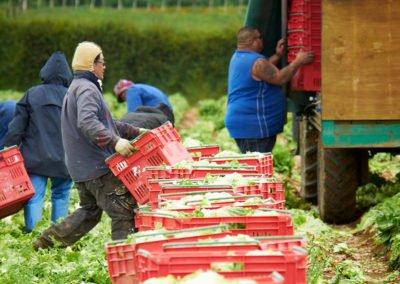 Harvesting-Lettuce