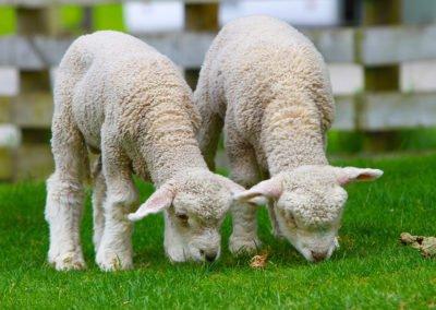 NZ-Lambs